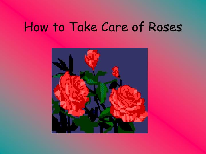 how to take care of roses n.