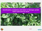 Identification, symptoms and nature of damage: potato tuber moth and cut worm