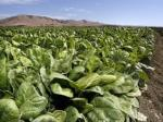 Natural Selections Farms Spinach Field               with Harvest Rows