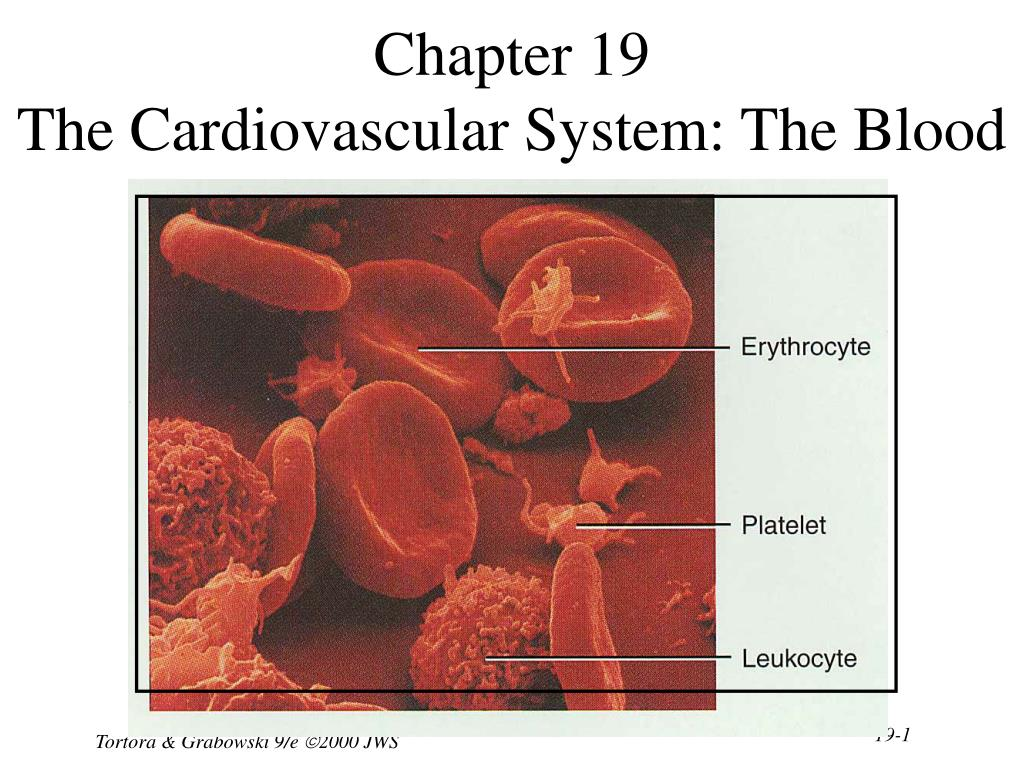 chapter 19 the cardiovascular system the blood l.