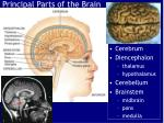Principal Parts of the Brain