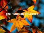 The Function of Leaves