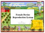 Female Bovine Reproduction System