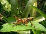 Insects  (Phylum Arthropoda; Sub-Phylum Uniramia)
